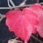 Lovely pink leaf