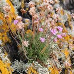 rock_plant_pink_flower