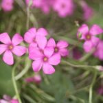 small_pink_flowers