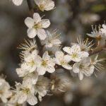 hawthorn_flower