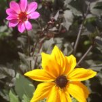 yellow_and_pink_flowers